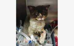 """Firecat"" Adopted and Safe After Burnt by Bonfire"